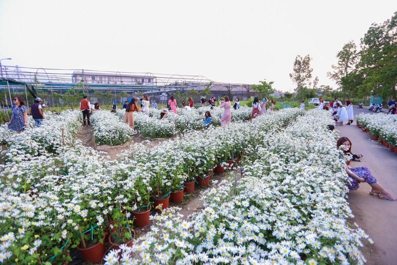 Vườn cúc họa mi 10.000 cây hút hồn giới trẻ Đà Nẵng - ảnh 1