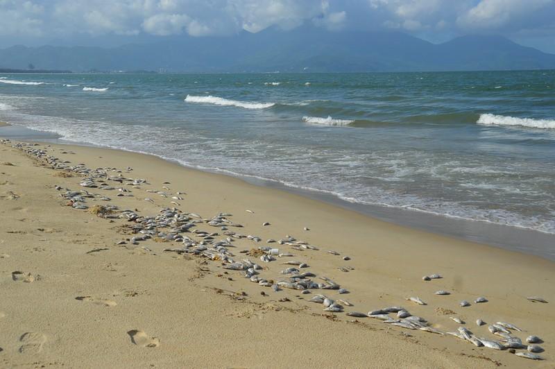 Đà Nẵng: Cá chết trắng bờ biển nghi do nổ mìn đánh cá - ảnh 1