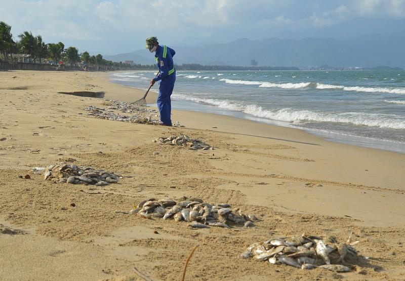 Đà Nẵng: Cá chết trắng bờ biển nghi do nổ mìn đánh cá - ảnh 3