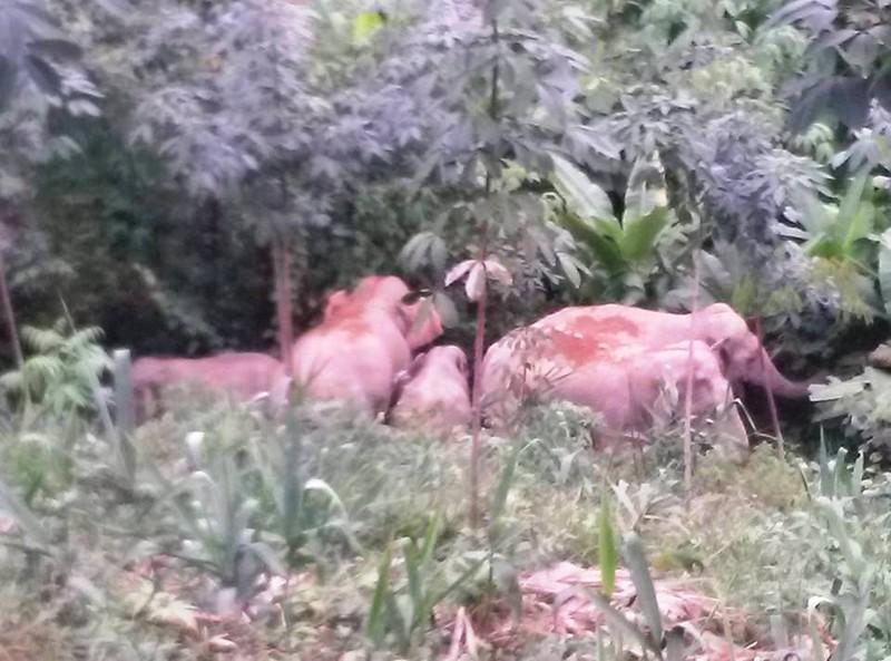 Nửa đêm đốt lửa, đánh trống đuổi voi trở lại rừng - ảnh 1