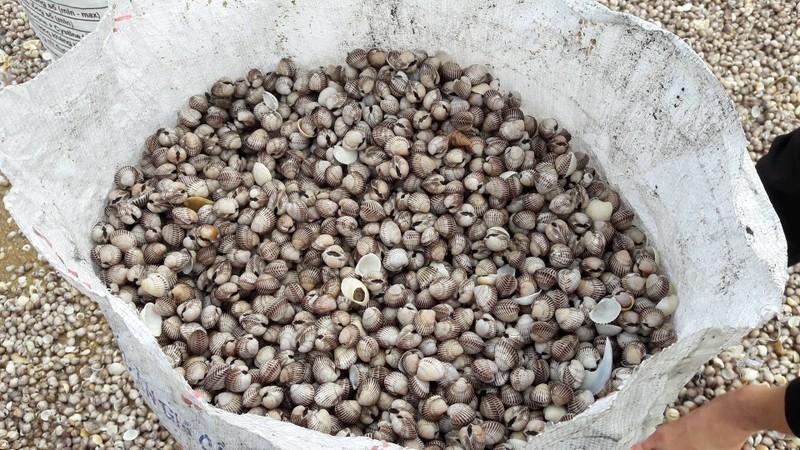 Chưa có kết quả phân tích sò lông dạt vào biển Hà Tĩnh - ảnh 1