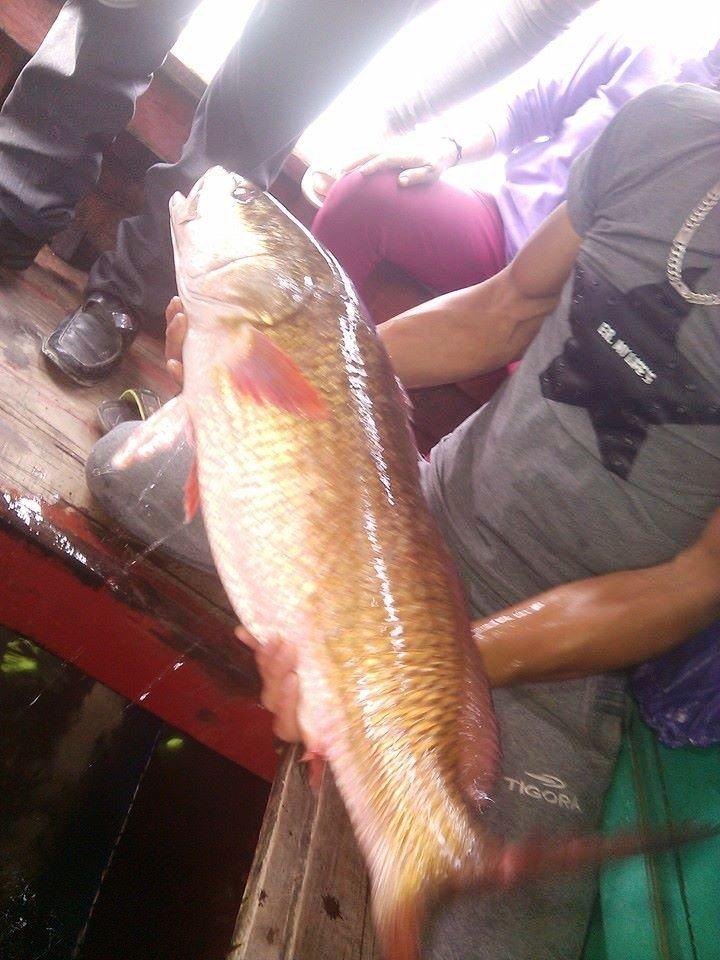 Dân đổ xô xem cá vàng 8 kg, giá hàng trăm triệu đồng  - ảnh 2
