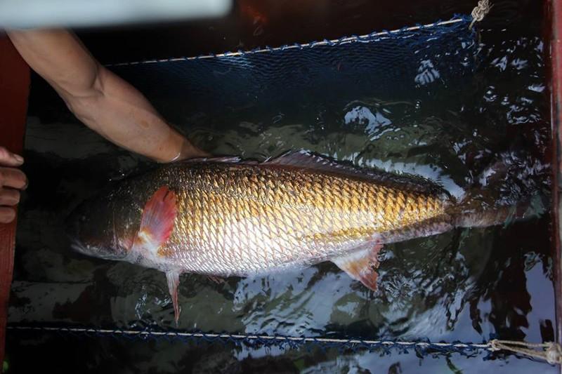 Dân đổ xô xem cá vàng 8 kg, giá hàng trăm triệu đồng  - ảnh 1