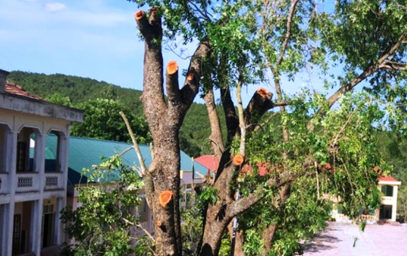 Kiểm điểm và yêu cầu khắc phục việc chặt cây 40 năm ở trường  - ảnh 1