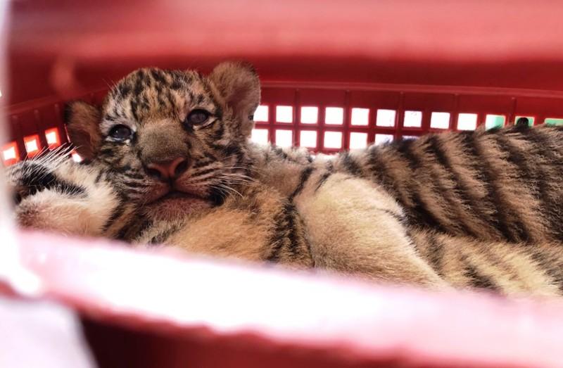 Bắt 2 kẻ đi xe hơi chở 7 hổ con còn sống, lùi xe vào cảnh sát để chạy trốn  - ảnh 4