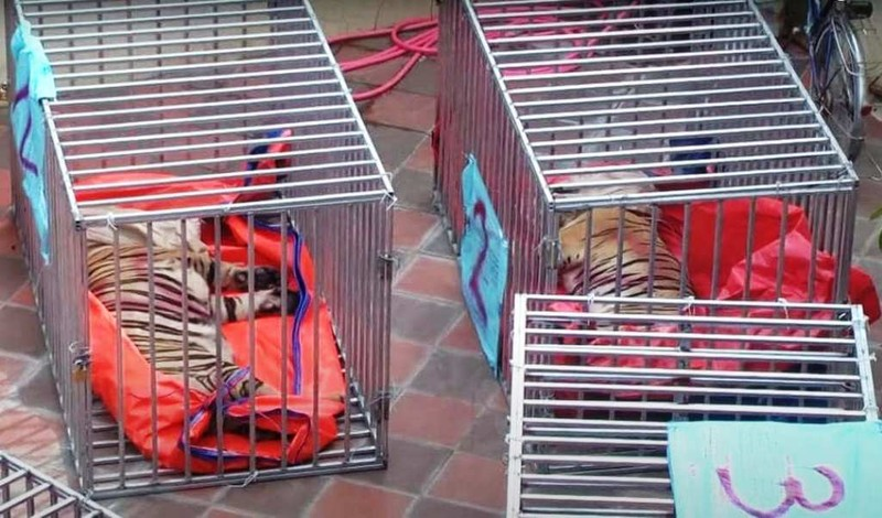 Số phận 9 con hổ ở Nghệ An giờ ra sao? - ảnh 2