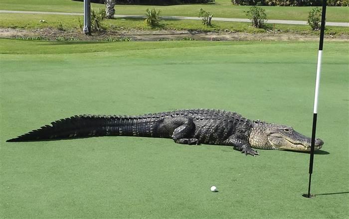 Cá sấu khổng lồ xâm nhập sân gôn - ảnh 2