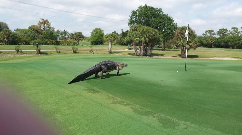 Cá sấu khổng lồ xâm nhập sân gôn - ảnh 3