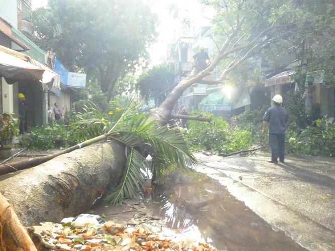 Mưa lớn làm đổ cây xà cừ cổ thụ tại trung tâm TP.HCM - ảnh 2