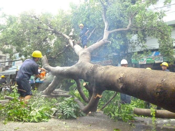Mưa lớn làm đổ cây xà cừ cổ thụ tại trung tâm TP.HCM - ảnh 3