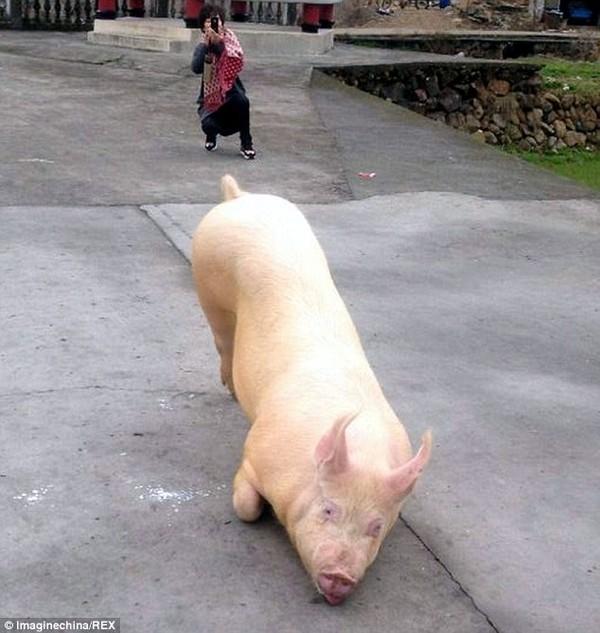 Kỳ lạ: Chú lợn tới trước cửa chùa... quỳ gối hàng tiếng không chịu đứng lên - ảnh 2