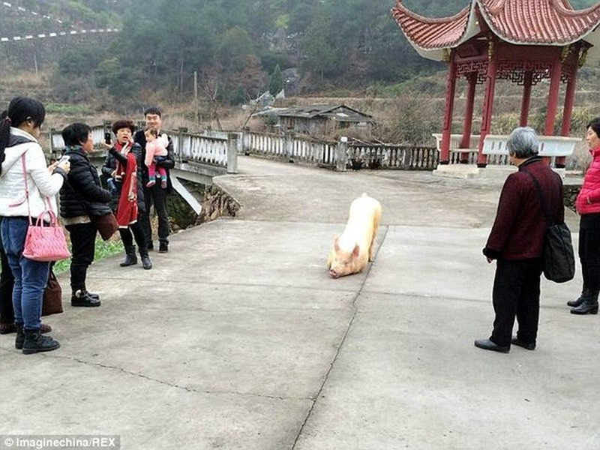 Kỳ lạ: Chú lợn tới trước cửa chùa... quỳ gối hàng tiếng không chịu đứng lên - ảnh 3