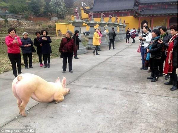 Kỳ lạ: Chú lợn tới trước cửa chùa... quỳ gối hàng tiếng không chịu đứng lên - ảnh 1