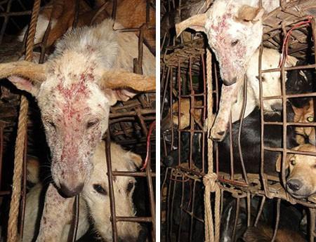 Cuộc giải cứu chú chó khỏi quán nhậu Việt Nam lên báo Anh