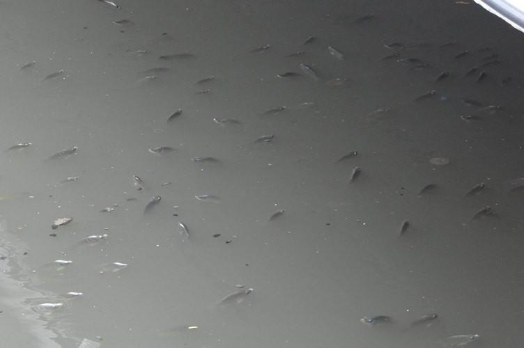 Kêu gọi không thả cá xuống kênh Nhiêu Lộc - Thị Nghè - ảnh 1