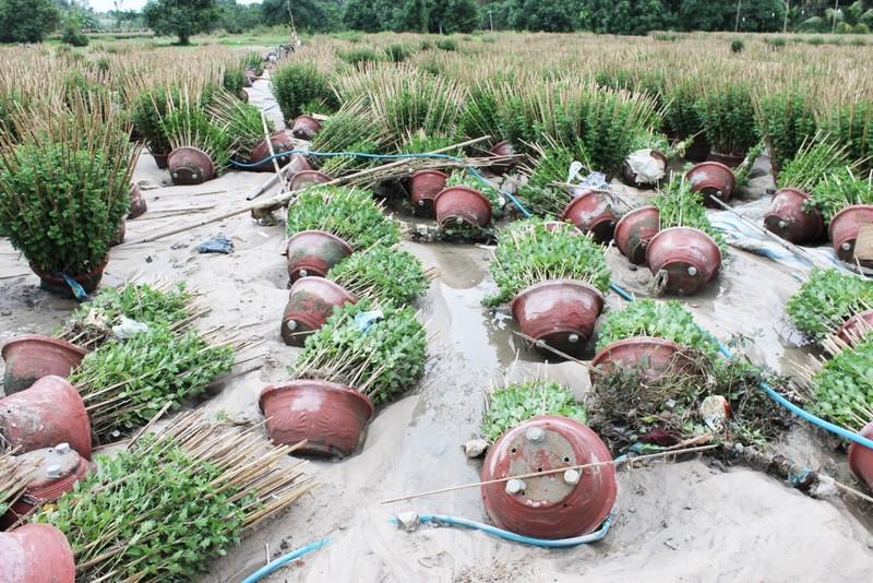 Những vườn hoa cúc tan hoang, xơ xác sau lũ ở phường Ninh Giang, thị xã Ninh Hòa (Khánh Hòa). Ảnh: CÔNG TÂM