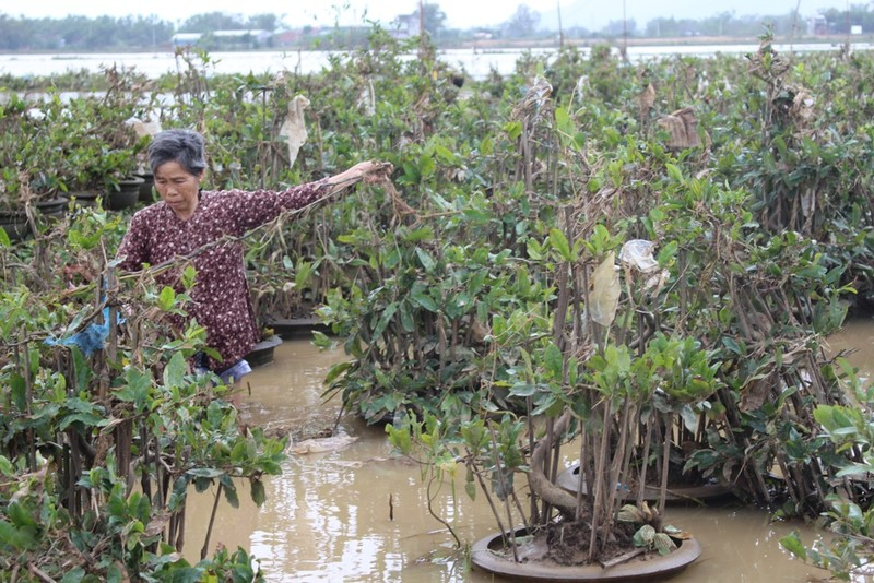 Nước lũ rút nhưng  các chậu mai của người dân ở Háo Đức, Bình Định xem như mất trắng. Ảnh: QUANG BẢO