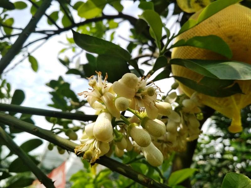 Gốc bưởi có đầy đủ hoa, lộc, trái... giá rất cao