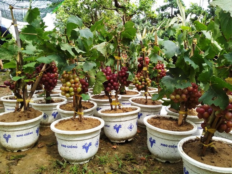 Nho Ninh Thuận có giá 400.000 đồng- 500.000 đồng/chậu.