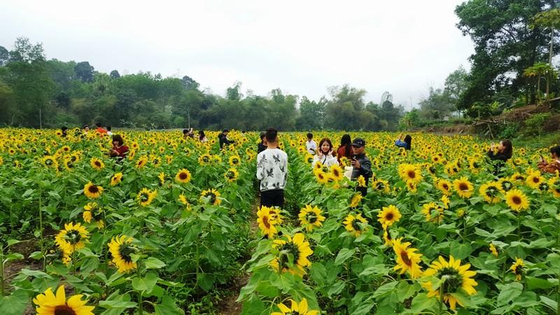 Người dân đổ xô đi chụp ảnh với hoa hướng dương - ảnh 4