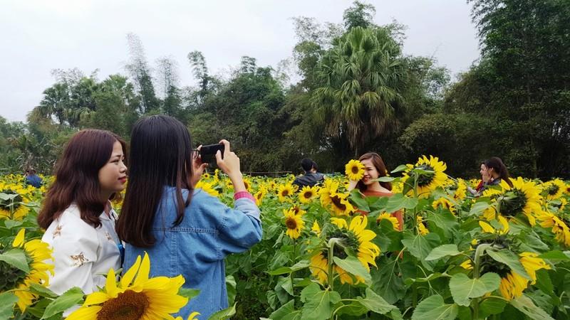 Người dân đổ xô đi chụp ảnh với hoa hướng dương - ảnh 5