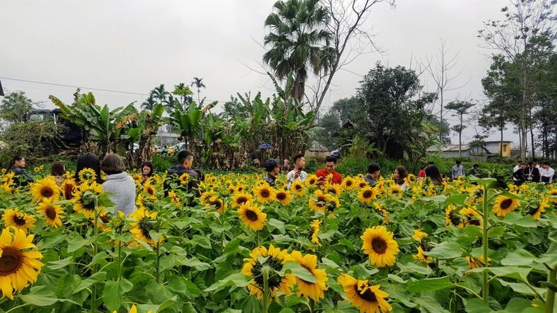 Người dân đổ xô đi chụp ảnh với hoa hướng dương - ảnh 9