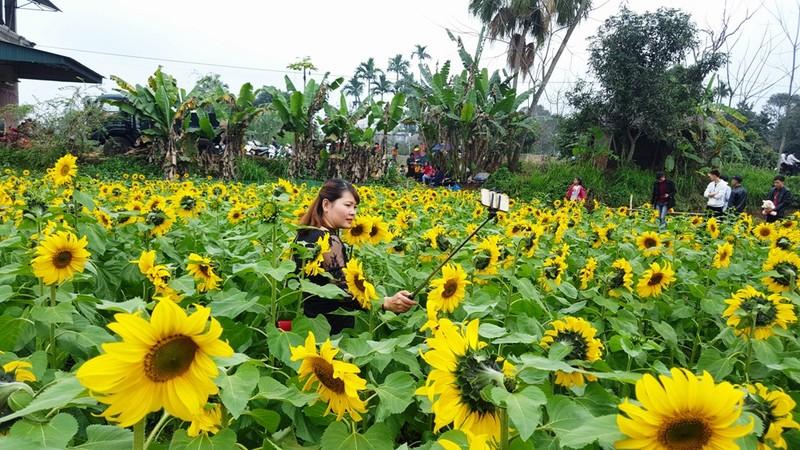 Người dân đổ xô đi chụp ảnh với hoa hướng dương - ảnh 10