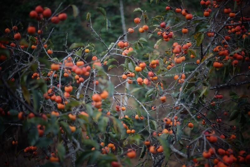 Ngất ngây với mùa lá đỏ ở Đà Lạt - ảnh 2
