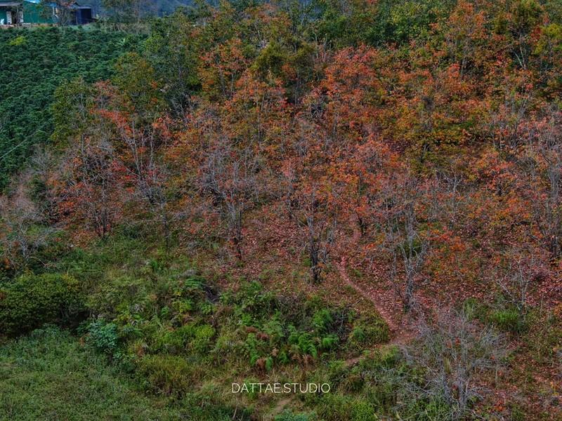 Ngất ngây với mùa lá đỏ ở Đà Lạt - ảnh 1