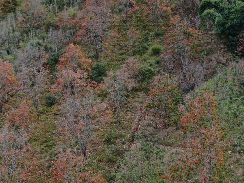 Ngất ngây với mùa lá đỏ ở Đà Lạt - ảnh 3