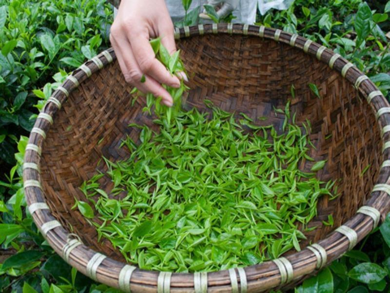 Kiếm bộn tiền từ loại trà đắt đỏ: 4 triệu đồng/kg - ảnh 1