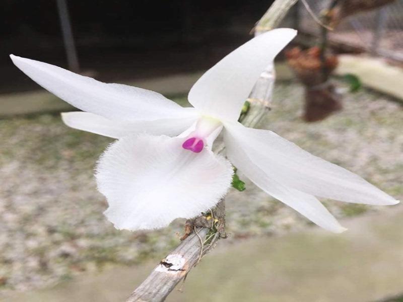 Giò phong lan lạ siêu đắt giá 1,1 tỉ đồng gây xôn xao - ảnh 2