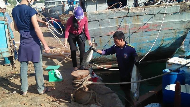 Tết vui của người nuôi cá bớp Lý Sơn - ảnh 1