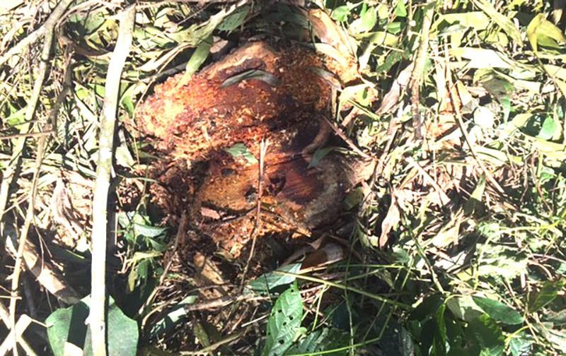Rừng đặc dụng bị đốn hạ trái phép nhiều lần ngay TP Thanh Hóa - ảnh 3