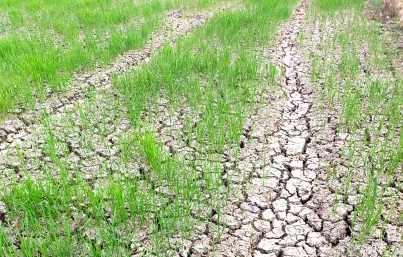 Hàng ngàn hecta lúa xứ Thanh sắp chết khát vì hạn hán - ảnh 5