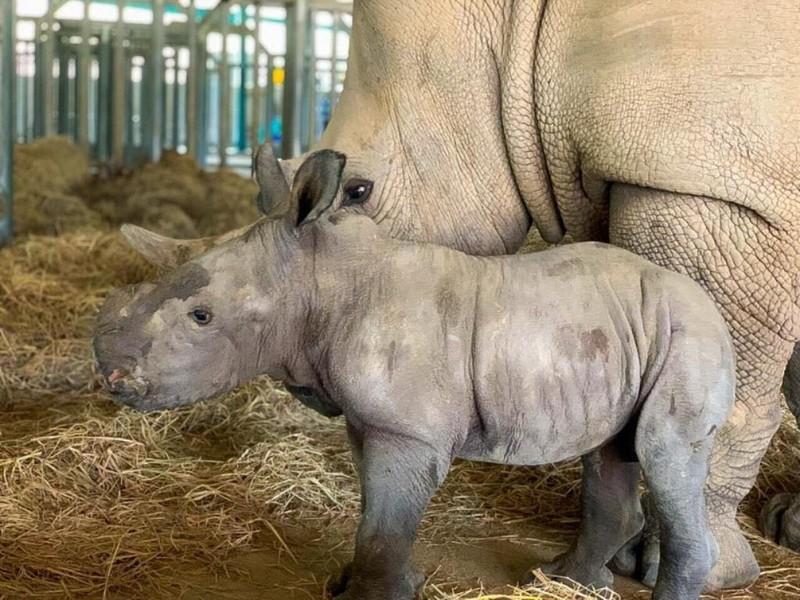 Vinpearl Safari Phú Quốc đón 2 cá thể tê giác chào đời - ảnh 1
