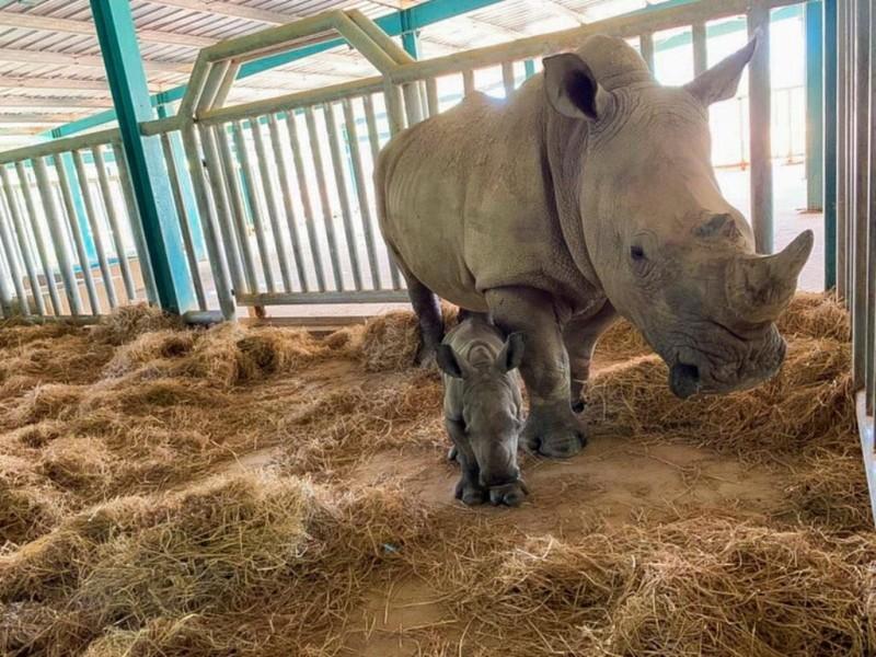 Vinpearl Safari Phú Quốc đón 2 cá thể tê giác chào đời - ảnh 2
