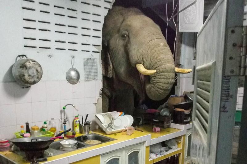 Dân Thái Lan tá hỏa phát hiện voi đột nhập gian bếp giữa đêm - ảnh 1