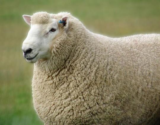 Một con cừu sống