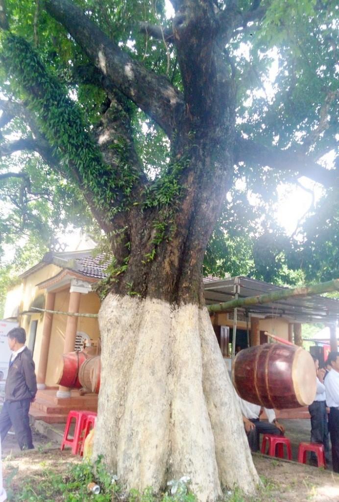 3 cây thị trên 100 năm tuổi được công nhận cây di sản - ảnh 1