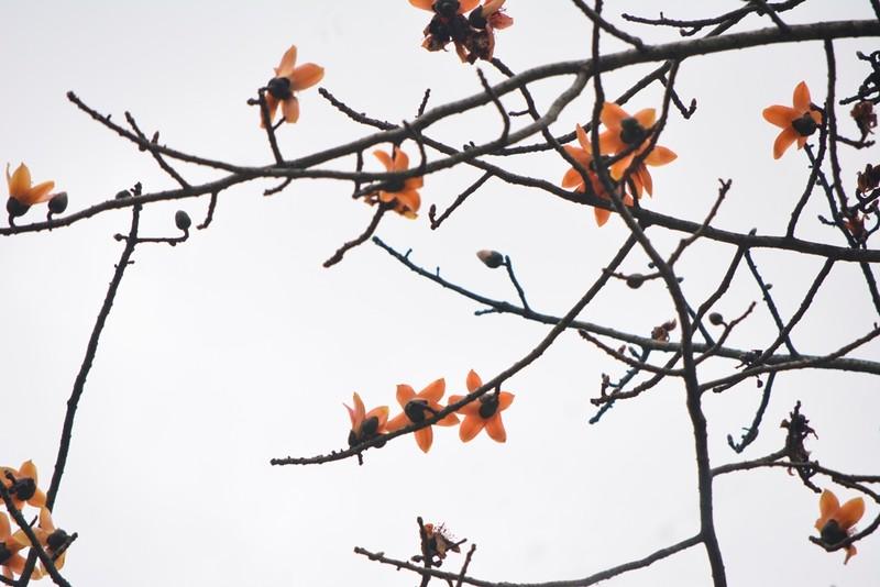 Ngắm hoa gạo đỏ rực trong rừng Cúc Phương - ảnh 5