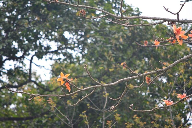 Ngắm hoa gạo đỏ rực trong rừng Cúc Phương - ảnh 7