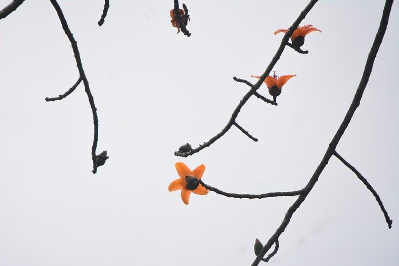 Ngắm hoa gạo đỏ rực trong rừng Cúc Phương - ảnh 8