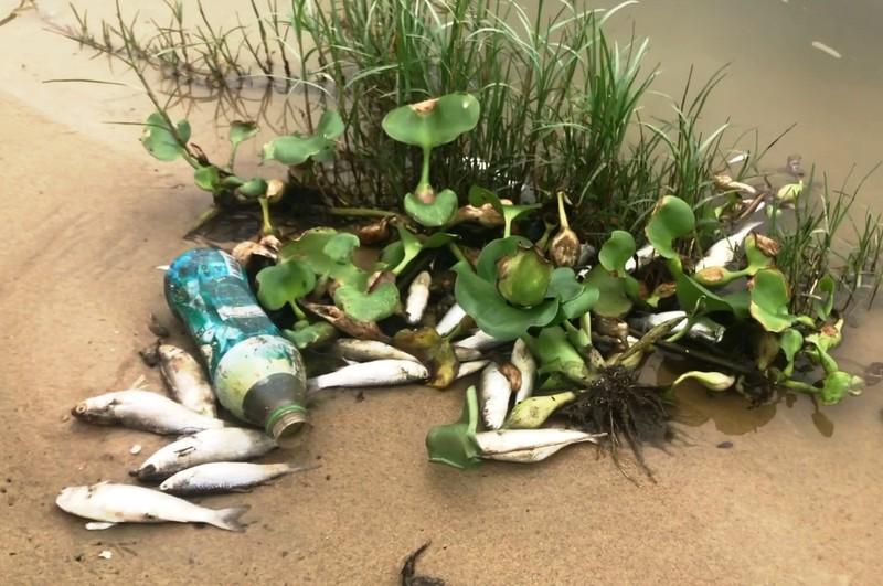 Cá chết nổi trắng cửa sông trôi ra biển ở Đà Nẵng - ảnh 1