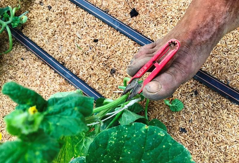 Anh nông dân cụt 2 tay trồng dưa lưới trắng tay vì COVID-19 - ảnh 3