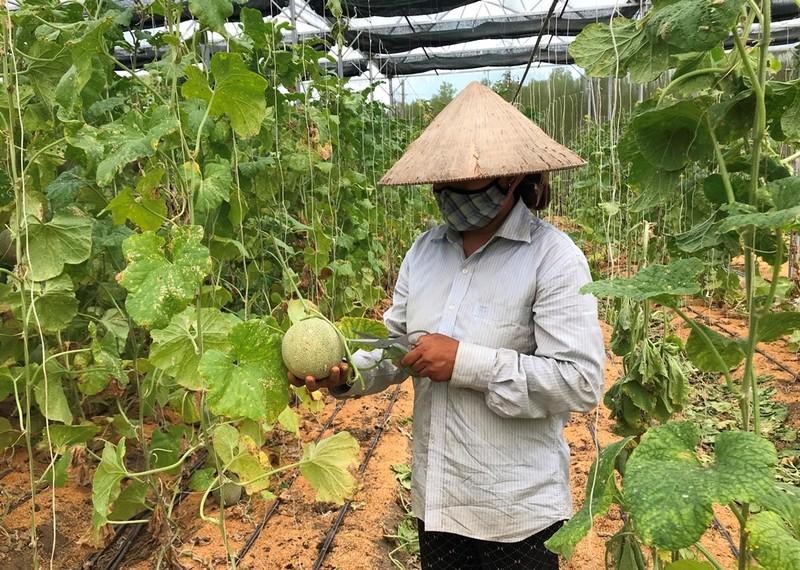 Anh nông dân cụt 2 tay trồng dưa lưới trắng tay vì COVID-19 - ảnh 4