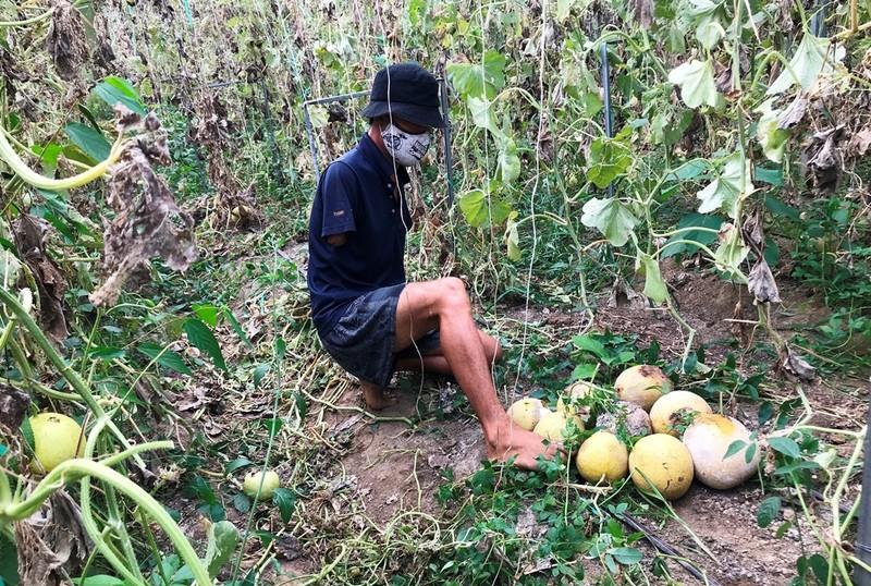 Anh nông dân cụt 2 tay trồng dưa lưới trắng tay vì COVID-19 - ảnh 1