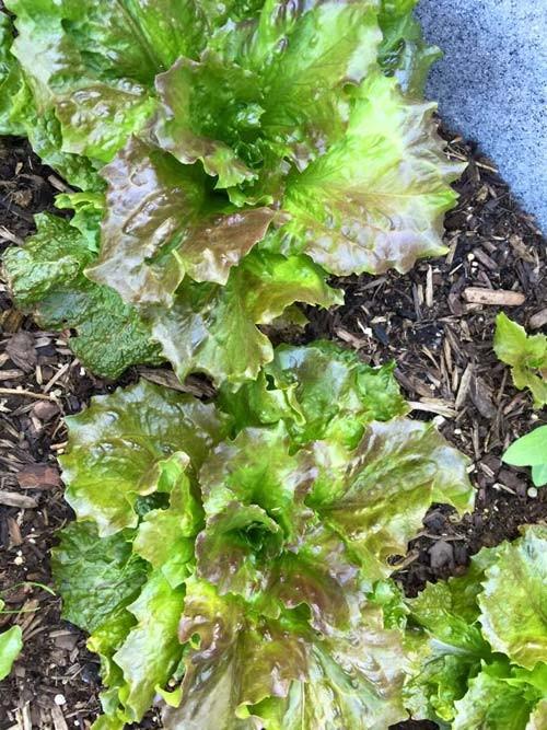 Hồng Ngọc khoe vườn rau tại Mỹ quanh năm ăn chẳng hết  - ảnh 11