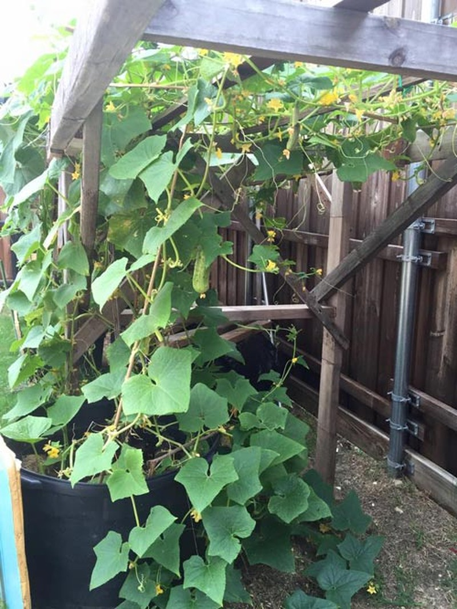 Hồng Ngọc khoe vườn rau tại Mỹ quanh năm ăn chẳng hết  - ảnh 3