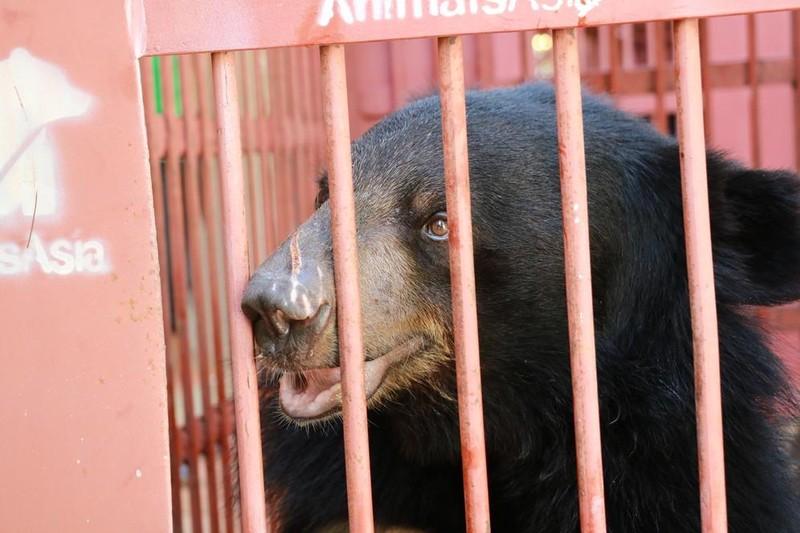 Cứu hộ bốn cá thể gấu ngựa tại Nha Trang  - ảnh 2